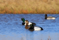 Sea Ducks, Drivers, Brants, and Broadbill ducks hunting guide in NJ